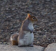 Squirrel on the lookout by Deb Vincent