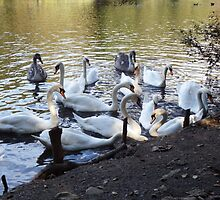 Swans at Tehidy Woods by Deb Vincent