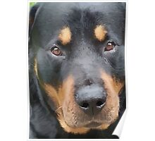 Beautiful  Female Rottweiler Portrait Vector Poster