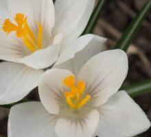 Bridal White Pair - Crocus Harbingers of Spring Sticker