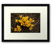Spilled Gold - Bright Yellow Crocus Harbingers of Spring Framed Print