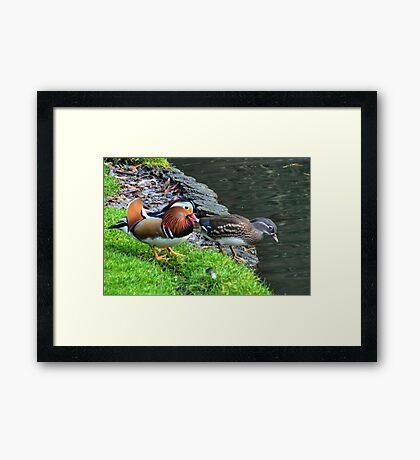 A Pair Of Mandarin Ducks Framed Print