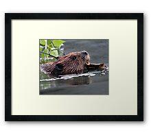 Beaver Working Framed Print