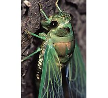 Cicada of Emerald & Gold Photographic Print