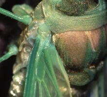 Cicada of Emerald & Gold Sticker
