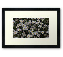 Daisies Floral Design  Framed Print