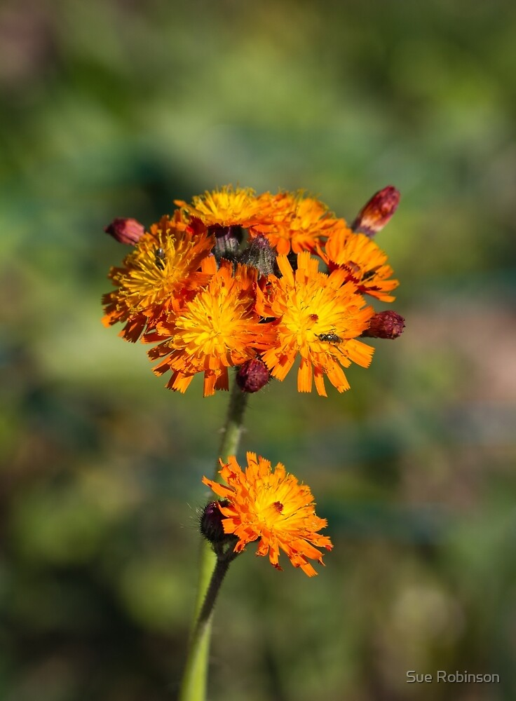 Fox and Cubs Wild Flower by Sue Robinson