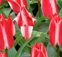 Pinnochios Galore! Colourful Tulips in the Keukenhof Sticker