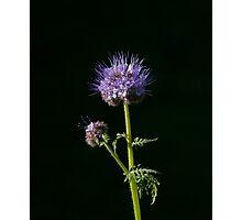 Phacelia tanacetifolia Wild flower  Photographic Print