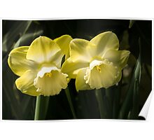 Sunny Pair - Glowing Mellow Yellow Narcissus Blooms Poster