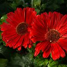 The Glorious Red Duo - Two Scarlet Gerbera Daisies  by Georgia Mizuleva