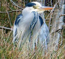 Grey Heron by trish725