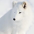 Foxy - Arctic Fox by Yannik Hay