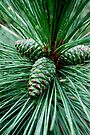 Pine Cones by Laurie Minor