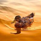 Golden Mallard Reflections by daphsam