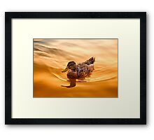 Golden Mallard Reflections Framed Print