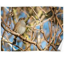 A dunnock bird opened mouth during bird song. Poster