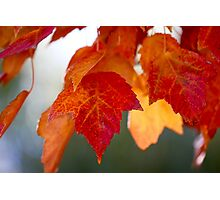 Red Maple Leaves 1 Photographic Print