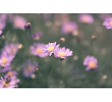Purple field daisies Photographic Print