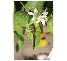 Dragonfly on a Leaf Poster