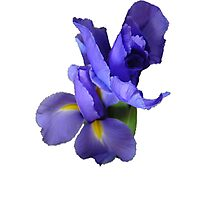Incredible Iris Photographic Print