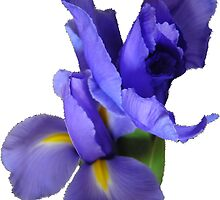 Incredible Iris by KazM