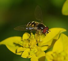 Hover Fly by Paul Chubb