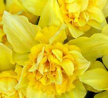 Yellow daffodils macro by Geraldas Galinauskas