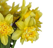 Daffodils macro in white by Geraldas Galinauskas