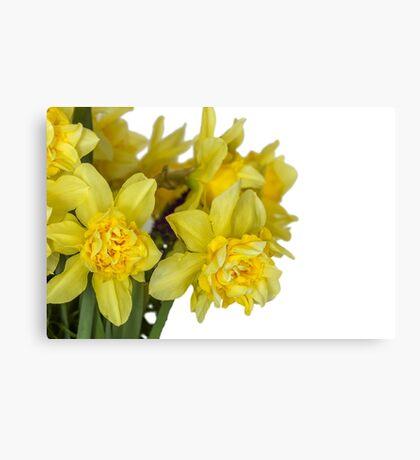 Daffodils macro in white Canvas Print
