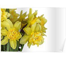 Daffodils macro in white Poster