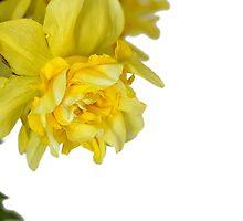 One daffodils macro by Geraldas Galinauskas