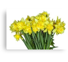 Yellow narcissus in white Canvas Print