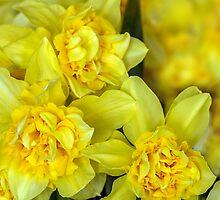 Yellow narcissus macro by Geraldas Galinauskas