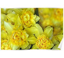 Yellow narcissus macro Poster