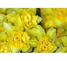 Yellow narcissus macro Photographic Print
