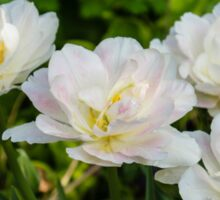 Soft White and Baby Pink Tulip Quartet - Enjoying the Beauty of Spring Sticker
