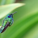 Green Violetear Hummingbird - Costa Rica by Jim Cumming
