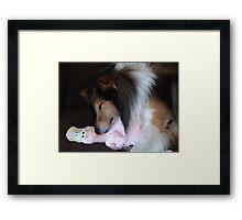 Shetland Sheepdog sleeping with his toy Framed Print