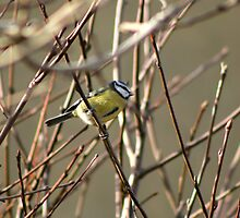 Blue Tit in the garden I by GreyFeatherPhot