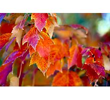 Red Autumn Maple Leaves 2 Photographic Print