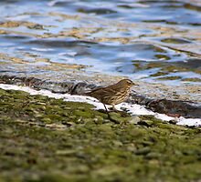 Pipit on the shore by GreyFeatherPhot