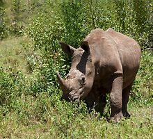 White Rhinoceros by Sue Robinson