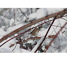 Song sparrow in the snowy brush Photographic Print