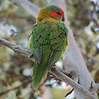 Musk Lorikeet (Glossopsitta concinna) - Thorndon Park, South Australia by Dan & Emma Monceaux