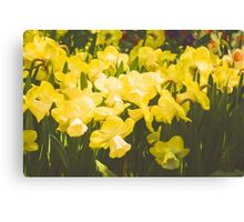 Impressions of Gardens - Golden Daffodil Blooms Canvas Print