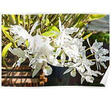 Tropical Impressions - Elegant White Orchids Poster