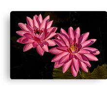 Two  Pink Water Lilies Canvas Print