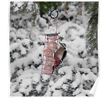Great Spotted Woodpecker in snow Poster