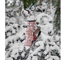 Great Spotted Woodpecker in snow Photographic Print